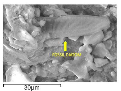 fossil-diatom